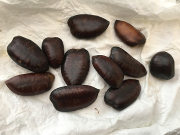 ポポーの種も蒔きました7