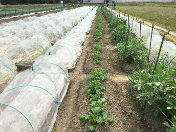 里芋ショウガ植えの見本を3