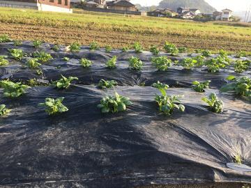 キャベツ苗植えとじゃが芋芽6