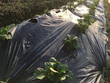 キャベツ苗植えとじゃが芋芽7