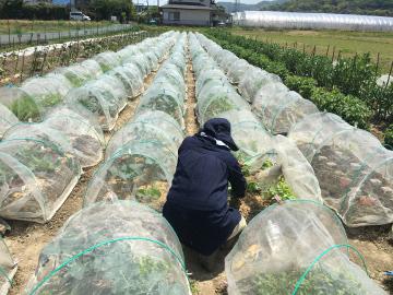 有機米田植えとジャンボタニシがいっぱい