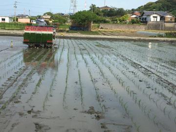 有機米田植えとジャンボタニシがいっぱい8