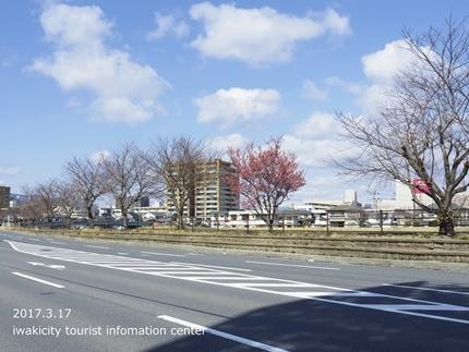 新川沿いのチョウベエザクラ [平成29年3月17日(金)更新]1