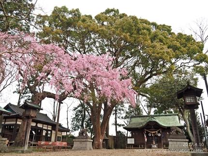 三島八幡神社のシダレザクラ [平成29年4月10日(月)更新]1