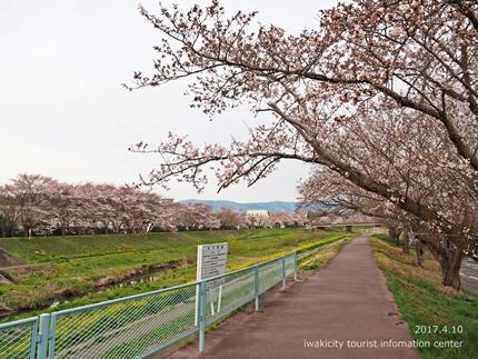 新川沿い・平中央公園のソメイヨシノ [平成29年4月10日(月)更新]1