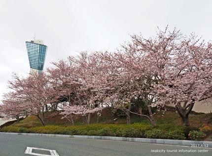 三崎公園のソメイヨシノ [平成29年4月12日(水)更新]1
