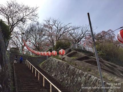御幸山公園・観音山公園のソメイヨシノ [平成29年4月12日(水)更新]1