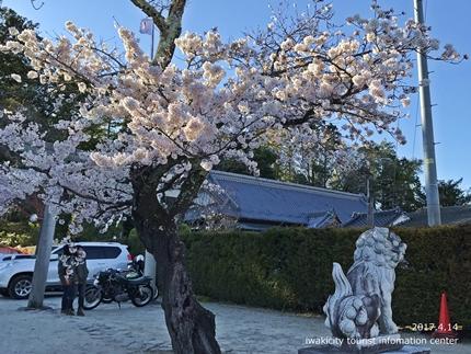 小川諏訪神社のシダレザクラ ライトアップ![平成29年4月14日(金)更新]1