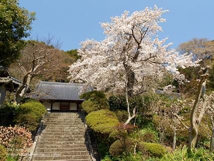 《桜開花状況》四倉地区の桜 [平成29年4月16日(日)更新]1