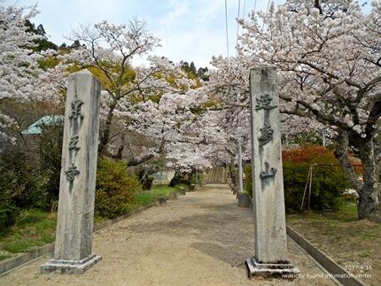 《桜開花状況》四倉地区の桜 [平成29年4月16日(日)更新]8