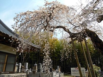 《桜開花状況》四倉地区の桜 [平成29年4月16日(日)更新]14