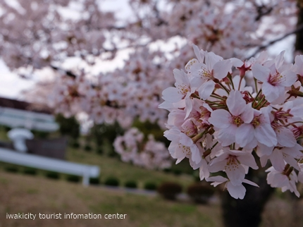 久之浜地区の桜 [平成29年4月18日(火)更新]1