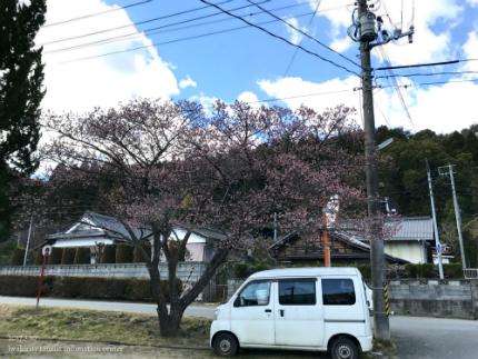 国宝白水阿弥陀堂のヒガンザクラ [平成29年3月10日(金)更新]1