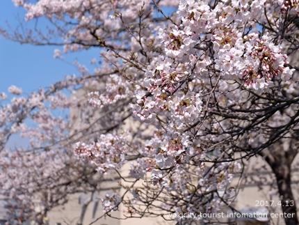 夏井川沿いのソメイヨシノ[平成29年4月13日(木)更新]1