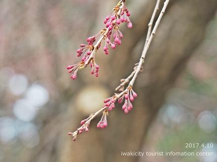 三島八幡神社のシダレザクラ [平成29年4月10日(月)更新]10