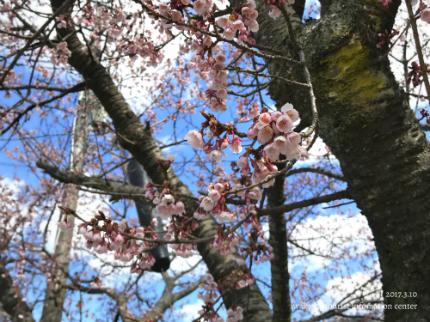 国宝白水阿弥陀堂のヒガンザクラ [平成29年3月10日(金)更新]10