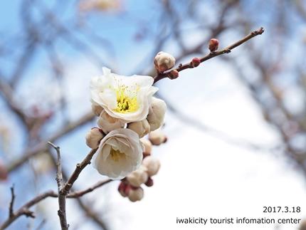 常勝院 八房の梅 [平成29年3月18日(土)更新]11