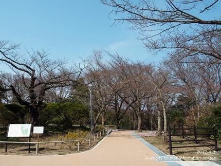 松ヶ岡公園のソメイヨシノ [平成29年4月3日(月)更新]11