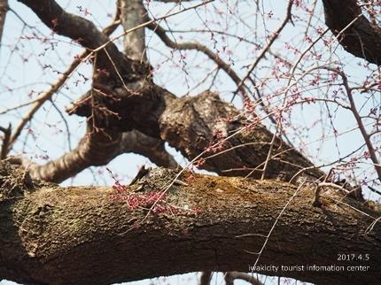 三島八幡神社のシダレザクラ [平成29年4月5日(水)更新]11