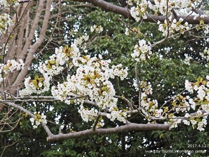 《いわき市桜開花情報》三崎公園のソメイヨシノ [平成29年4月12日(水)更新]tags[福島県]