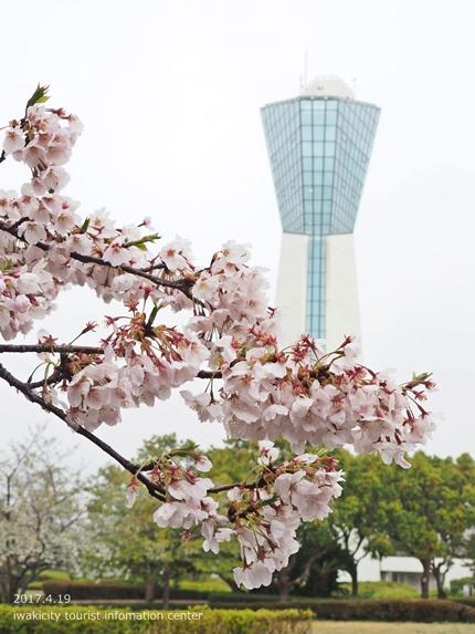 《いわき市桜開花情報》三崎公園のソメイヨシノ [平成29年4月19日(水)更新]11