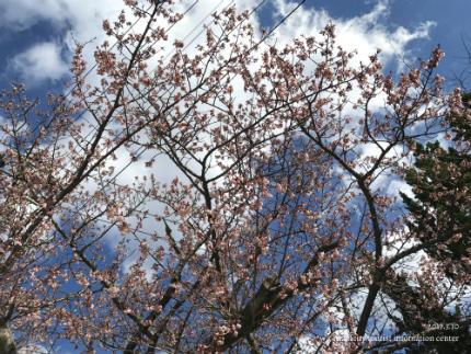 国宝白水阿弥陀堂のヒガンザクラ [平成29年3月10日(金)更新]11
