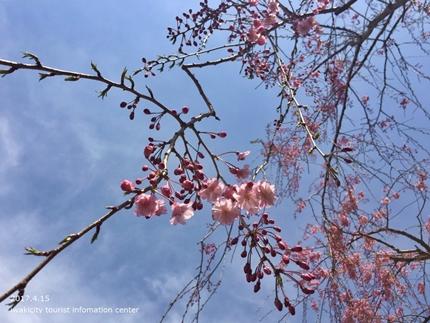 県立いわき公園の桜 [平成29年4月15日(土)開催]11