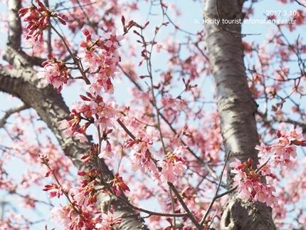 新川沿いのチョウベエザクラ [平成29年3月17日(金)更新]12