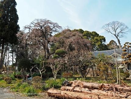 三島八幡神社のシダレザクラ [平成29年4月5日(水)更新]12