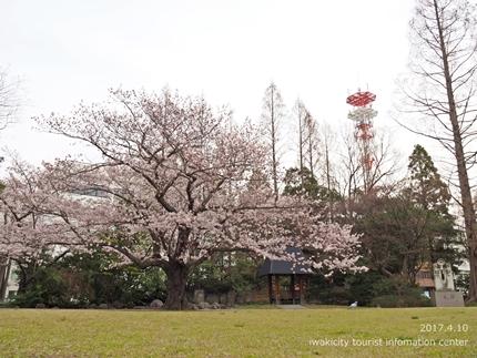 新川沿い・平中央公園のソメイヨシノ [平成29年4月10日(月)更新]12