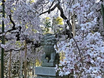 《いわき市桜開花情報》 小川諏訪神社のシダレザクラ [平成29年4月14日(金)更新]tags[福島県]
