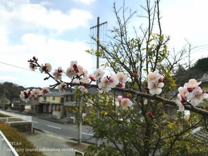 梅林寺のウメ [平成29年3月6日(月)更新]12