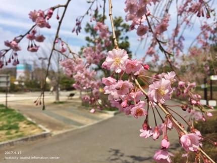 県立いわき公園の桜 [平成29年4月15日(土)開催]12