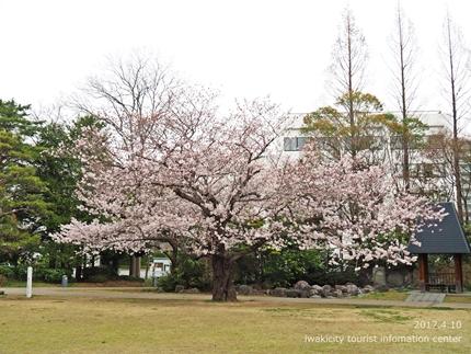新川沿い・平中央公園のソメイヨシノ [平成29年4月10日(月)更新]13