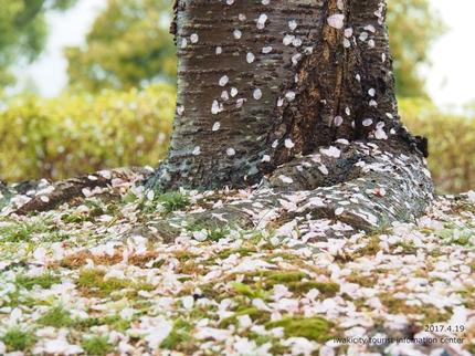 《いわき市桜開花情報》三崎公園のソメイヨシノ [平成29年4月19日(水)更新]13