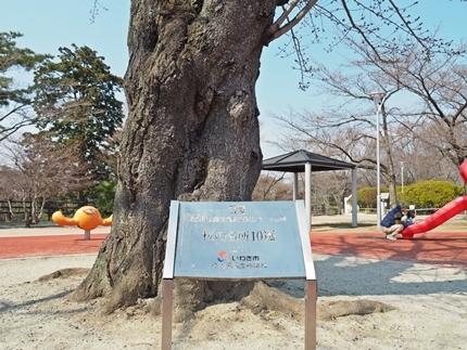 松ヶ岡公園のソメイヨシノ [平成29年4月3日(月)更新]14
