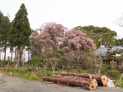 三島八幡神社のシダレザクラ [平成29年4月10日(月)更新]14