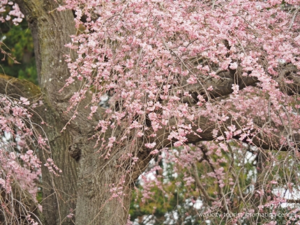 三島八幡神社のシダレザクラ [平成29年4月10日(月)更新]15
