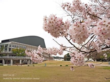 新川沿い・平中央公園のソメイヨシノ [平成29年4月10日(月)更新]15