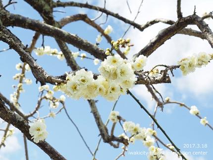 常勝院 八房の梅 [平成29年3月18日(土)更新]16