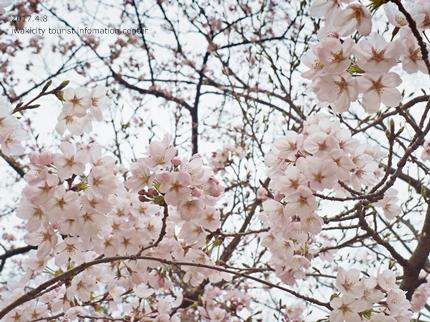 松ヶ岡公園のソメイヨシノ [平成29年4月8日(土)更新]16