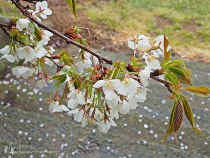 《いわき市桜開花情報》三崎公園のソメイヨシノ [平成29年4月19日(水)更新]16