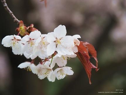 田人の石割桜が満開となりました! [平成29年4月22日(土)更新]7