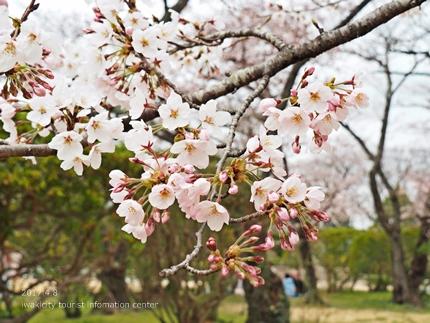 松ヶ岡公園のソメイヨシノ [平成29年4月8日(土)更新]17