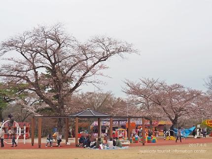 松ヶ岡公園のソメイヨシノ [平成29年4月8日(土)更新]18