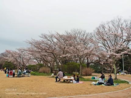 松ヶ岡公園のソメイヨシノ [平成29年4月8日(土)更新]19