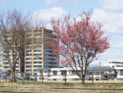 新川沿いのチョウベエザクラ [平成29年3月17日(金)更新]2