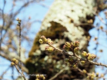 小川諏訪神社のシダレザクラ [平成29年3月31日(金)更新]2-1