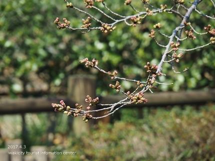松ヶ岡公園のソメイヨシノ [平成29年4月3日(月)更新]2