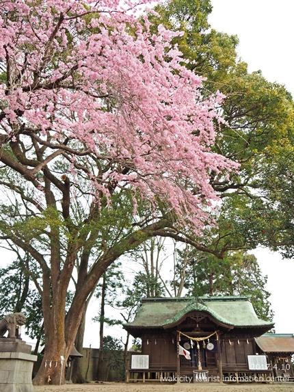 三島八幡神社のシダレザクラ [平成29年4月10日(月)更新]2
